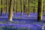 Hallerbos, The Blue Forest of Belgium