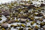 Glacier Mice: A Rolling Stone Does Gather Moss