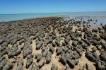 Stromatolites of Hamelin Pool