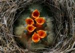 baby birds in nest, ready for lunch